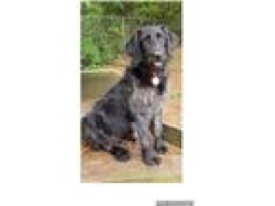 Adopt Margo a Black - with White Labradoodle / German Wirehaired Pointer / Mixed