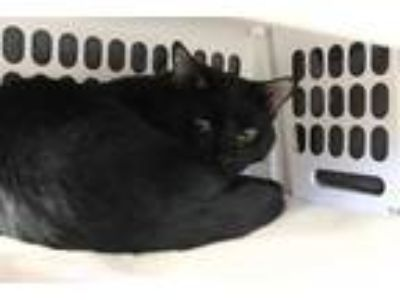 Adopt BINX a All Black Domestic Shorthair / Mixed (short coat) cat in Brewster
