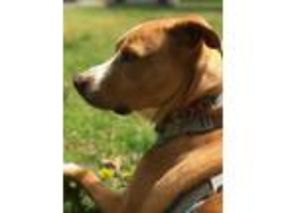 Adopt Moxie a Tan/Yellow/Fawn Labrador Retriever / American Pit Bull Terrier dog