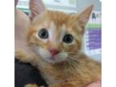 Adopt Goldfish a Domestic Short Hair