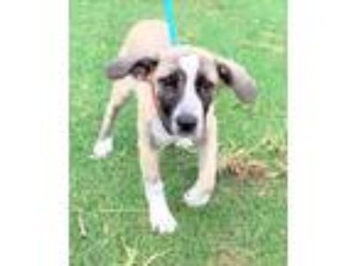 Adopt Crissy a Tan/Yellow/Fawn Labrador Retriever / Mixed dog in Loxahatchee