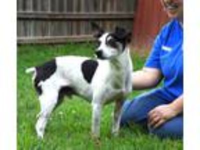 Adopt Spud a Tricolor (Tan/Brown & Black & White) Jack Russell Terrier / Mixed