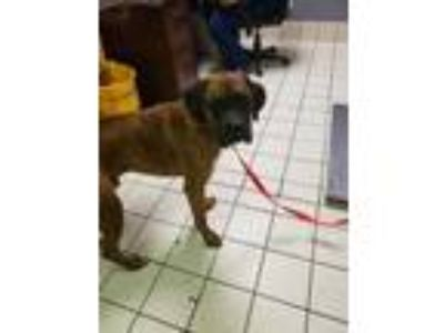 Adopt Tyrone a Brindle Boxer / Mastiff / Mixed dog in Charleston, WV (25840628)