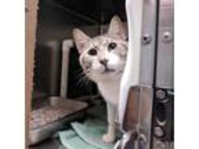 Adopt Spider a White Domestic Shorthair / Domestic Shorthair / Mixed cat in