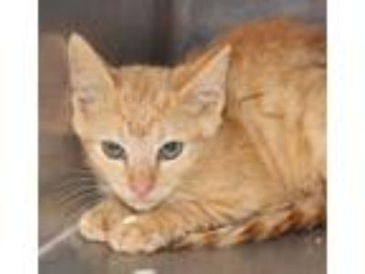 Adopt Pen 25 a Domestic Short Hair