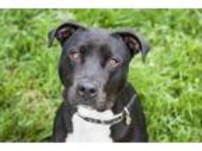 Adopt Dexter a Pit Bull Terrier / Mixed dog in Napa, CA (25221081)
