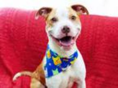 Adopt DUCKY a Pit Bull Terrier