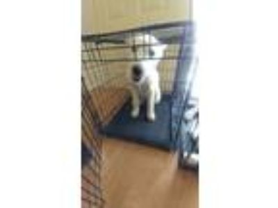 Adopt Sasha a White Husky dog in Fort Hood, TX (25474979)