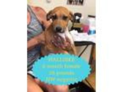 Adopt Hallibee a Tan/Yellow/Fawn Black Mouth Cur / Catahoula Leopard Dog / Mixed
