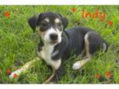 Adopt Indy a Black - with Tan, Yellow or Fawn Border Collie / Catahoula Leopard