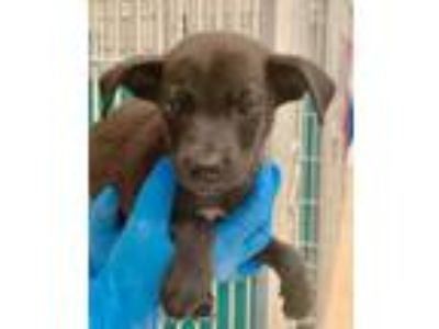 Adopt 42173995 a Catahoula Leopard Dog, Mixed Breed