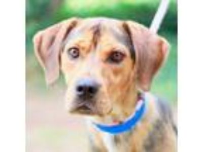 Adopt Elvis a Brown/Chocolate Hound (Unknown Type) / Mixed dog in Alpharetta