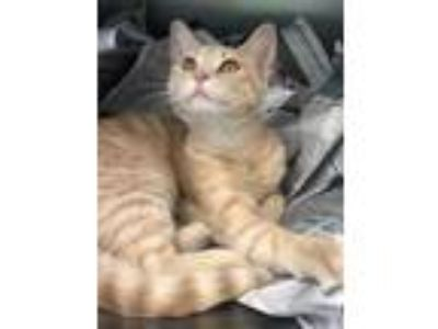 Adopt Sizzle a Domestic Short Hair