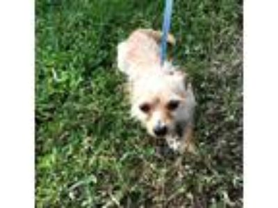 Adopt Butter a Tan/Yellow/Fawn Wirehaired Fox Terrier dog in Moorestown