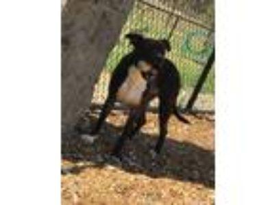 Adopt Lucky a Black - with White Pit Bull Terrier dog in Dickson, TN (19382559)