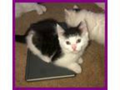 Adopt Kari a Black & White or Tuxedo Domestic Shorthair (short coat) cat in Mt.