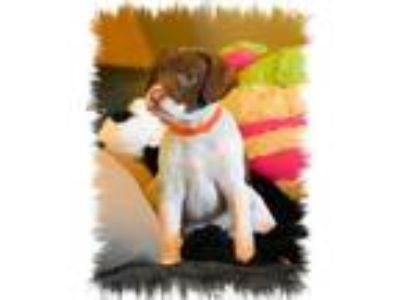 Adopt Hamm a White - with Brown or Chocolate German Shorthaired Pointer / Mixed