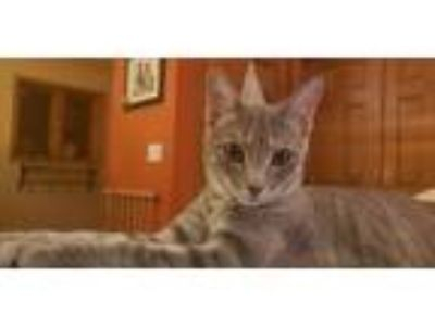 Adopt Piper a Gray or Blue (Mostly) Russian Blue cat in West Salem