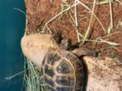 Adopt Tooby a Tortoise reptile, amphibian, and/or fish in Aurora, IL (25570180)