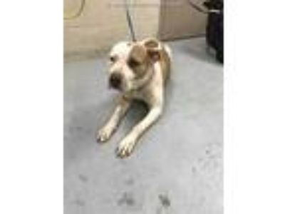 Adopt a White - with Tan, Yellow or Fawn American Pit Bull Terrier / Mixed dog