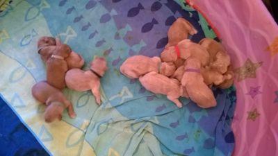 Golden Retriever PUPPY FOR SALE ADN-101024 - AKC Golden Retriever Puppies for Christmas