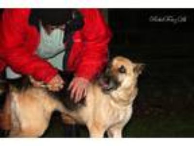 Adopt Blaze a German Shepherd Dog