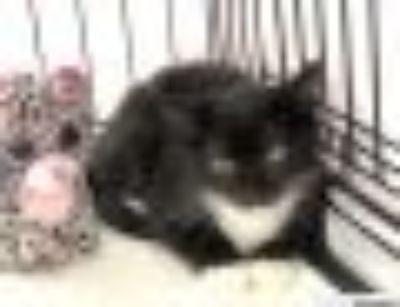 Chopper Domestic Short Hair - Tuxedo Cat