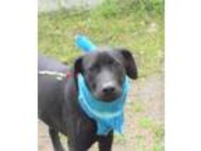 Adopt Jim a Labrador Retriever