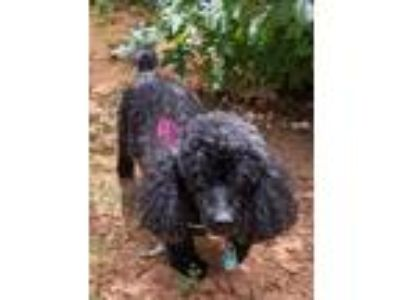 Adopt Shadow a Black Poodle (Miniature) dog in Decatur, GA (25854129)