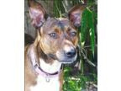 Adopt Pepper a Brindle Shepherd (Unknown Type) / Mixed dog in Indialantic