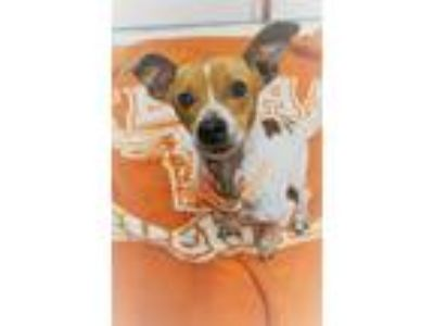 Adopt TEX a Red/Golden/Orange/Chestnut - with White Jack Russell Terrier /