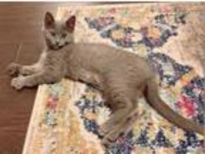 Adopt LUCY a Gray or Blue Domestic Shorthair / Mixed (short coat) cat in