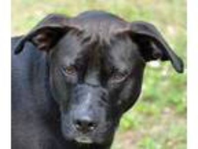 Adopt Jersey a Black Labrador Retriever / American Pit Bull Terrier / Mixed dog