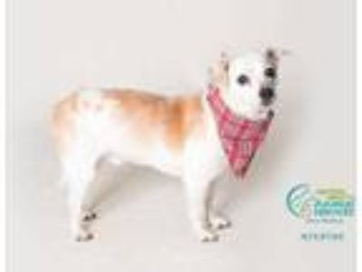 Adopt MOTLEY a White - with Tan, Yellow or Fawn Jack Russell Terrier / Mixed dog