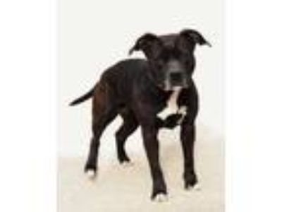 Adopt Charlotte a Black American Pit Bull Terrier / Mixed dog in Toccoa