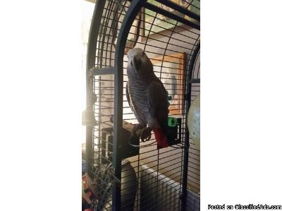 African grey male parrot