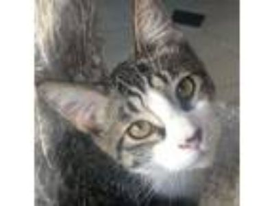 Adopt Willy (Bonded to Taylor) a Domestic Short Hair