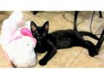 Adopt Lombardy a All Black Domestic Shorthair (short coat) cat in Trevose