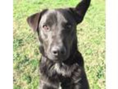 Adopt Daryl a Black - with White Labrador Retriever / Blue Heeler / Mixed dog in
