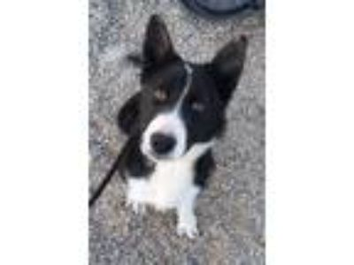 Adopt Eugene a Black - with White Border Collie / Mixed dog in Canyon Country
