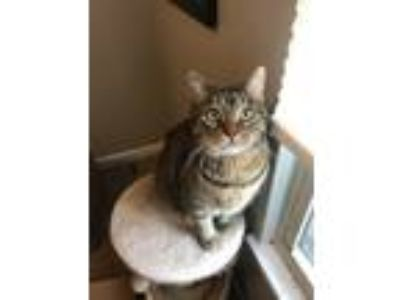 Adopt George a Tan or Fawn Domestic Mediumhair / Mixed cat in Fishers