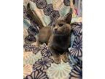 Adopt Davenport a Russian Blue, Domestic Short Hair
