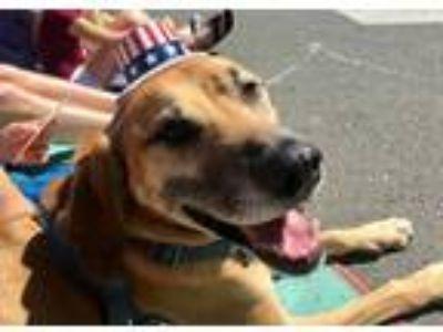 Adopt Jasper a Tan/Yellow/Fawn - with White Rhodesian Ridgeback / Bloodhound /