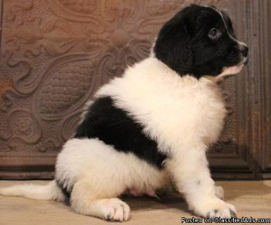DJUYDTR HEALTHY NEWFOUNDLAND PUPPIES AVAILABLE FOR SALE Text: (4O4) 692 XX 3714