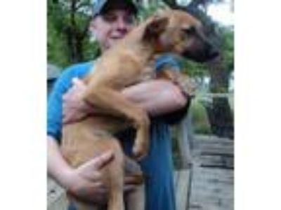 Adopt Cutie a Shepherd, Labrador Retriever