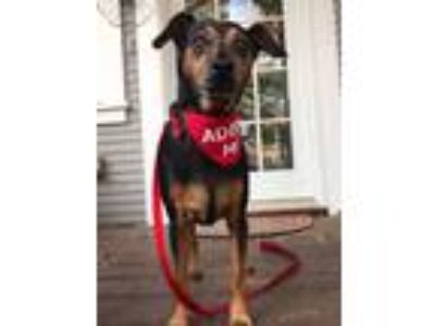 Adopt Domino a Black - with Tan, Yellow or Fawn Miniature Pinscher / Mixed dog