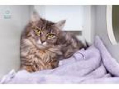 Adopt Sorcha a Domestic Longhair / Mixed (medium coat) cat in Shoreline