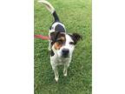 Adopt HECTOR a Tricolor (Tan/Brown & Black & White) Foxhound / Shepherd (Unknown