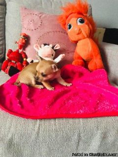 Adorables Chihuahua Puppies