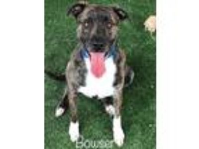 Adopt BOWSER a Brindle - with White Labrador Retriever / Mixed dog in Marietta